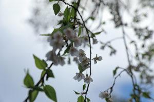 岩船寺 桜